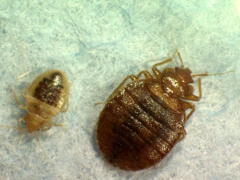 Bed Bug Invasion | News