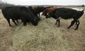 Shrinking Cattle Herd