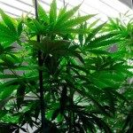 Housecall for Health: Pot & Cigarettes