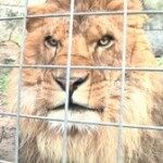 Lion Kills Volunteer At CA Animal Park