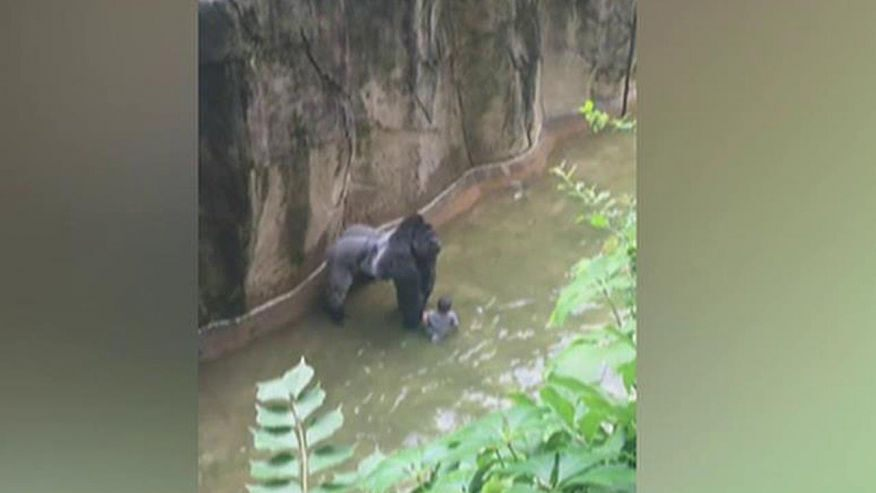 GORILLA VERSUS FOUR YEAR OLD HUMAN: HOW WOULD YOU DECIDE ...