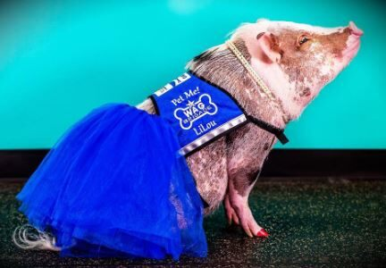 An airport therapy pig? We're snort kidding!