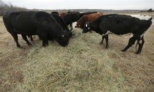 Shrinking Cattle Herd