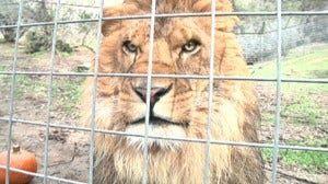 Couscous the Lion, File Photo