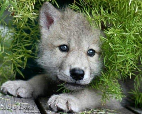 wolfpup01